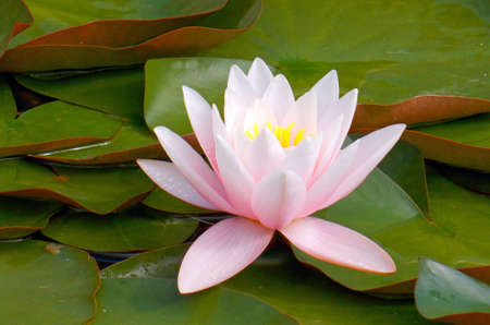 Photo pour water lily flower on the pond and green leaves - image libre de droit