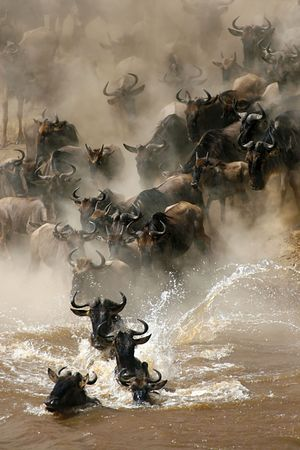 More than a million wildebeests migrates every year between Masai Mara NP and Serengeti NP. In their journey they cross several times Mara River, even some hundred thousands a time.