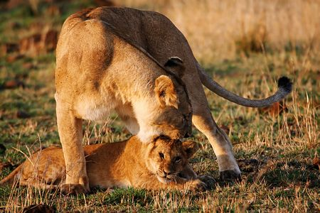 Foto per A lioness is reproaching its young cub - Immagine Royalty Free
