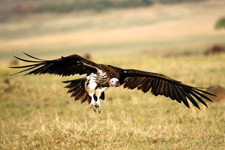 Foto per Vulture landing in the savannah - Immagine Royalty Free