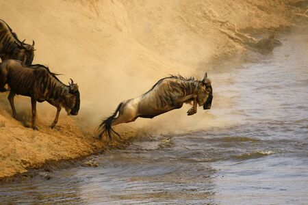 Wildebeest jumping crossing the Mara River