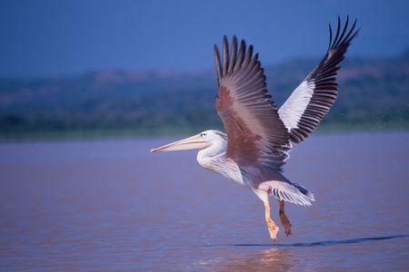Foto per Pelican taking off from Baring Lake, Kenya - Immagine Royalty Free