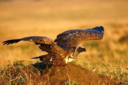 Foto per Vulture taking off from a termitarium - Immagine Royalty Free