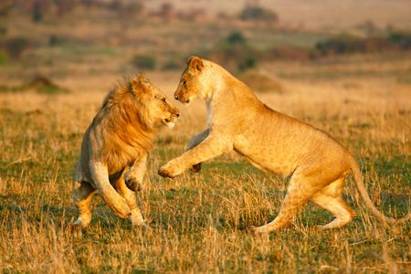 Foto per A lioness and a young lion play in the early morning - Immagine Royalty Free