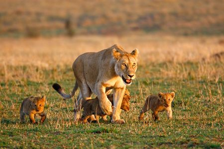 Foto per Lioness walking with four little cubs - Immagine Royalty Free