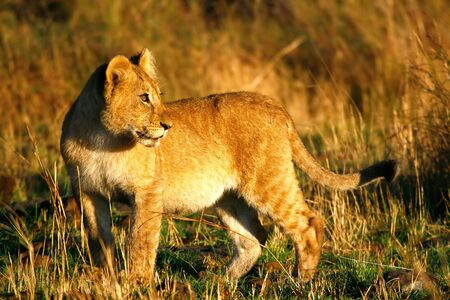Foto per Lion cub in the early morning - Immagine Royalty Free