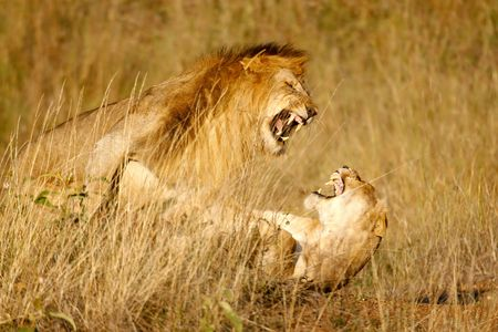 Foto per Lions mating in the high grass - Immagine Royalty Free