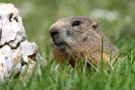 Foto per A marmot in the Venetian Dolomites - Immagine Royalty Free