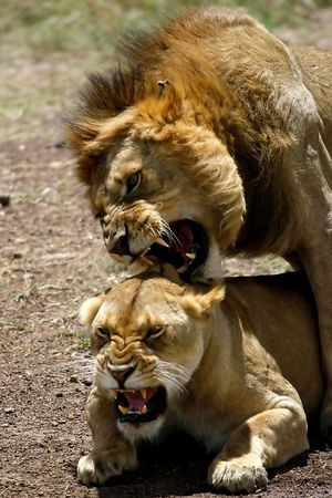 Foto per Lions mating near a stretch of water - Immagine Royalty Free