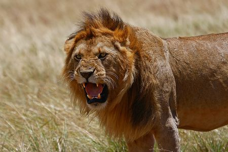 Foto per Big male lion with open mouth - Immagine Royalty Free