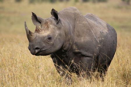 Foto per Rhino walking in the high grass - Immagine Royalty Free