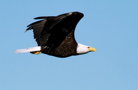 Foto per A great bald eagle is flying with outspread wings  - Immagine Royalty Free