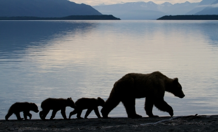Grizzly sow with three little cubs at dawn.