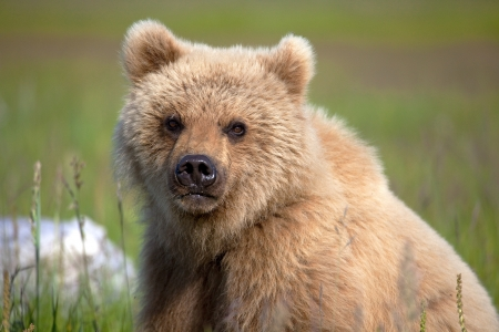 Foto per Grizzly cub staring at the camera in Alaska. - Immagine Royalty Free