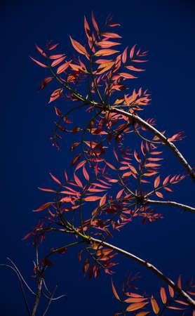 mahogany cedar