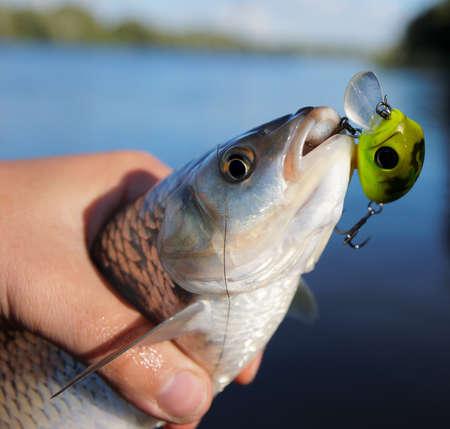 Photo pour Chub caught on spinning bait against river landscape - image libre de droit