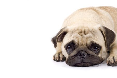 closeup picture of a cute pug with sad eyes. copyspace available