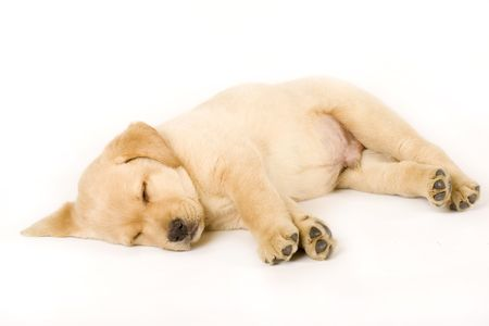 Sleeping Labrador retriever puppy against white background