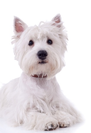 West Highland White Terrier  in front of a white background