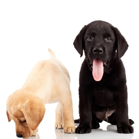 two cute labrador puppies - one sticking out its tongue and one sniffing for something