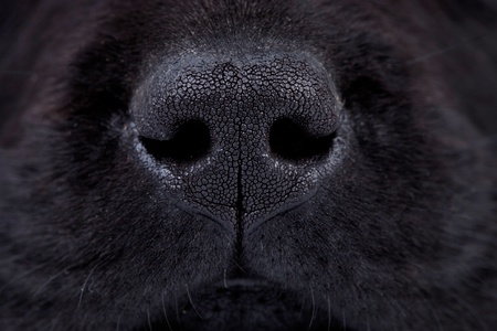 macro picture of a wet black labrador puppy's nose