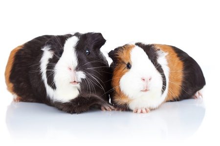 Portrait of two cute guinea pigs isolatedの写真素材