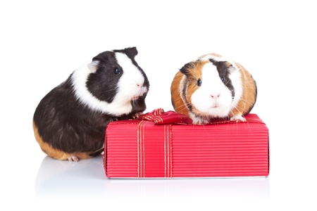 Two adorable guinea pigs sitting on a gift isolatedの写真素材
