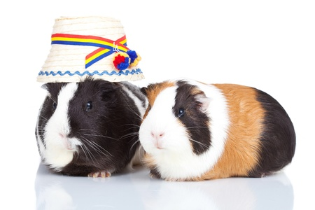 Portrait of two guinea pigs with a romanian hat isolatedの写真素材