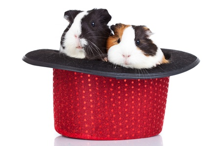 two cute guinea pigs sitting in a red hatの写真素材