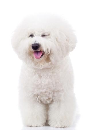 panting bichon frise puppy dog winking at the camera on white background