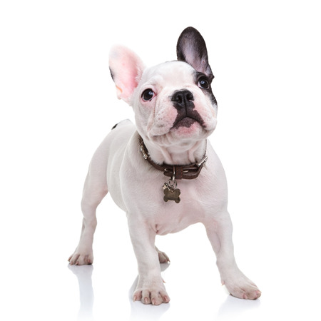 cute little french bulldog puppy standing  on white background and looks up to something
