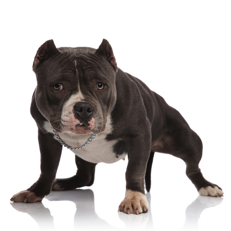 lovely american bully wearing collar stands on white background