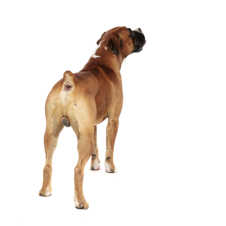 Foto de beutiful boxer captured from behind, looking up and to a side, on a light background - Imagen libre de derechos