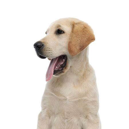 Photo for side view of a panting labrador retriever's head on white background - Royalty Free Image
