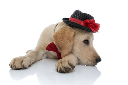 Photo pour sad cute labrador retriever puppy resting its head on paws while lying down on white background. it wears a hat and red bow tie - image libre de droit