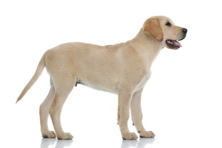 Foto de side view of a cute labrador retriever puppy dog looking up at something on white background - Imagen libre de derechos