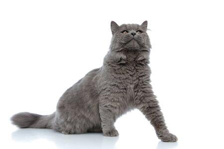 Photo pour beautiful british longhair cat with gray fur sitting and looking ahead arrogant against white studio background - image libre de droit