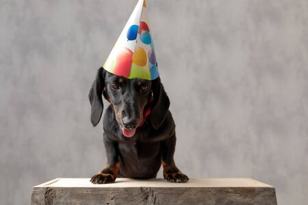 beautiful teckel puppy dog with birthday hat sitting on wooden board curious of what is down there against gray studio background