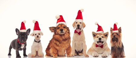 Photo for group of adorable santa dogs in a row on white background - Royalty Free Image