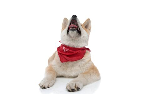 Photo for Eager Akita Inu panting and begging, looking up while wearing a red bandana around his neck, laying down on white studio background - Royalty Free Image