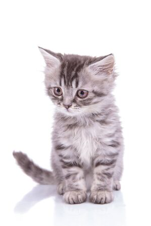 Photo pour Eager British Shorthair cub looking away and stalking while sitting on white studio background - image libre de droit