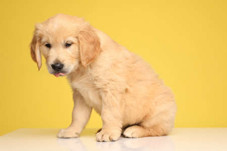 Photo for cute labrador retriever pup looking down and sticking out tongue, sitting on yellow background - Royalty Free Image