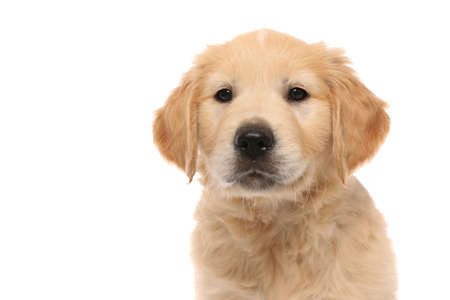 Photo for portrait of a golden retriever dog standing, looking at the camera with cute humble eyes on white studio background - Royalty Free Image