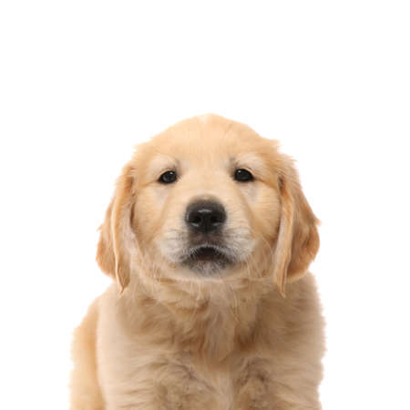 Photo for portrait of a golden retriever dog with cute face standing and looking at the camera on white studio background - Royalty Free Image