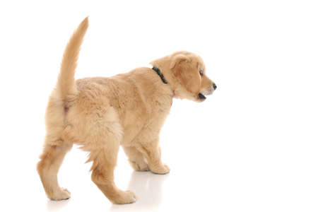 Photo for rear view of a little golden retriever dog spotting something and barking at it on white studio background - Royalty Free Image