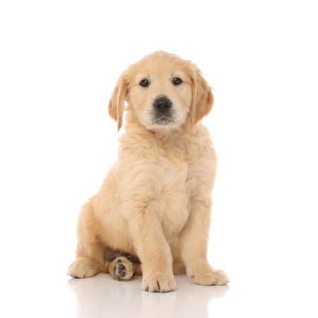Photo for cute little golden retriever dog sitting and looking at the camera with little shiny eyes on white studio background - Royalty Free Image