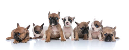 Photo pour sweet group of seven little bulldog puppies looking to side, sitting and laying down isolated on white background in studio - image libre de droit