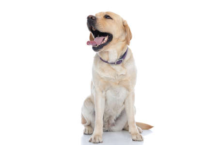 Photo pour adorable labrador retriever dog laughing out loud and wearing a purple leash against white background - image libre de droit
