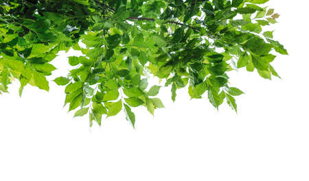 Photo pour Green leaves isolated on white background - image libre de droit