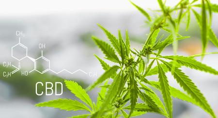 Foto per Cannabis of the formula CBD cannabidiol. Concept of using marijuana for medicinal purposes. - Immagine Royalty Free